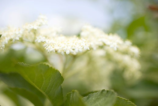 Elderflowers (close-up) : Stock Photo