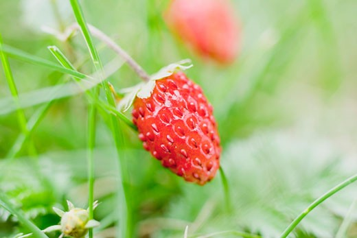 Stock Photo: 1532R-33012 Wild strawberry on the plant (close-up)