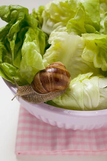 Live snail on lettuce in bowl : Stock Photo