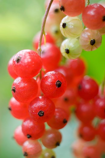 Redcurrants on the bush (close-up) : Stock Photo