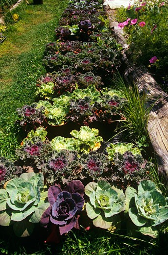 Stock Photo: 1532R-37090 Decorative Cabbages Growing in a Garden