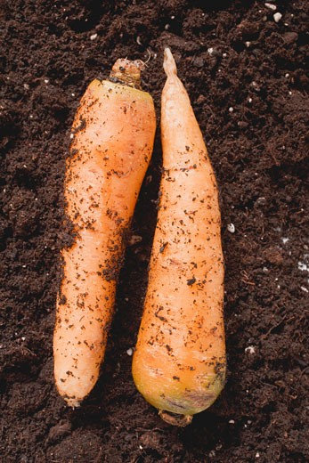 Two carrots on soil : Stock Photo