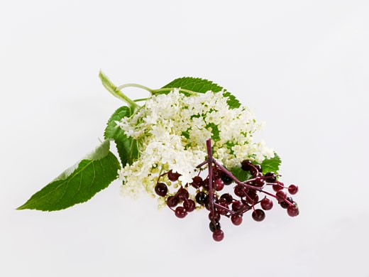 Stock Photo: 1532R-43035 Elderflowers and elderberries