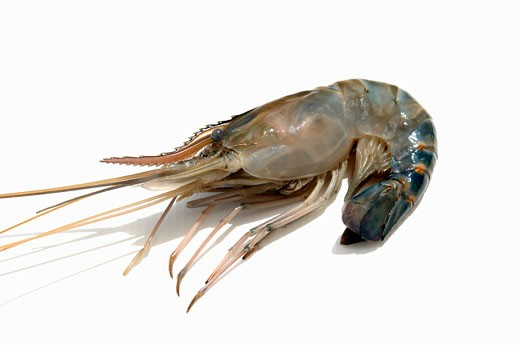 Stock Photo: 1532R-43546 A prawn