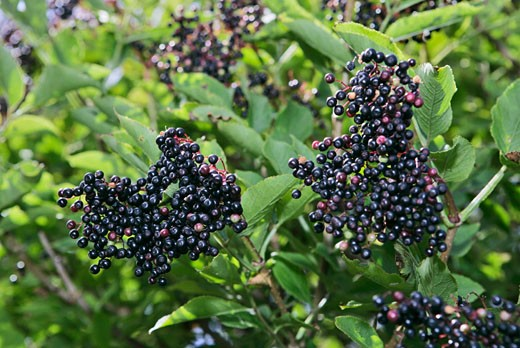 Black elderberries on the bush : Stock Photo