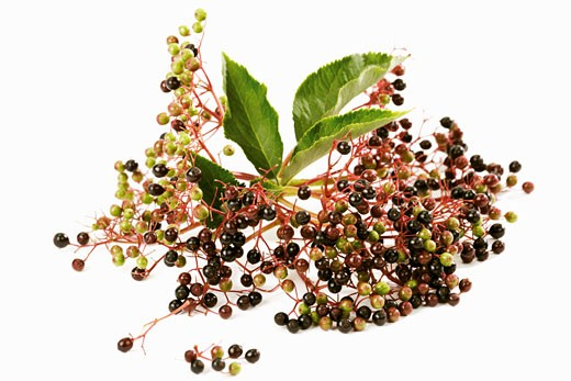 Unripe elderberries : Stock Photo