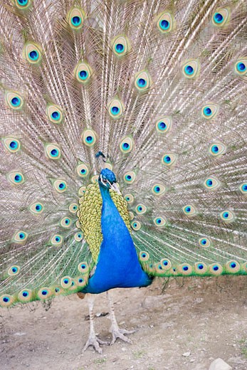 Stock Photo: 1532R-48806 Peacock displaying its tail feathers