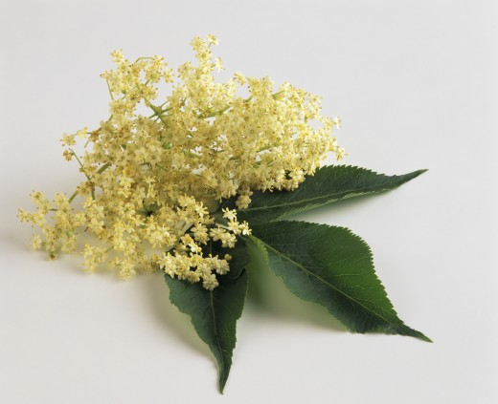 Stock Photo: 1532R-54362 Elderflowers with leaf