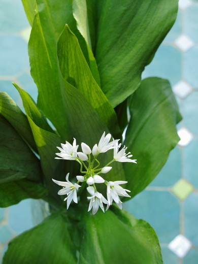 Ramsons with flowers : Stock Photo