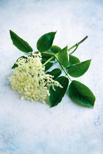 Stock Photo: 1532R-61512 Stem with elderflowers