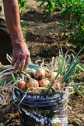 Stock Photo: 1532R-65279 Freshly harvested onions in a bucket in a garden