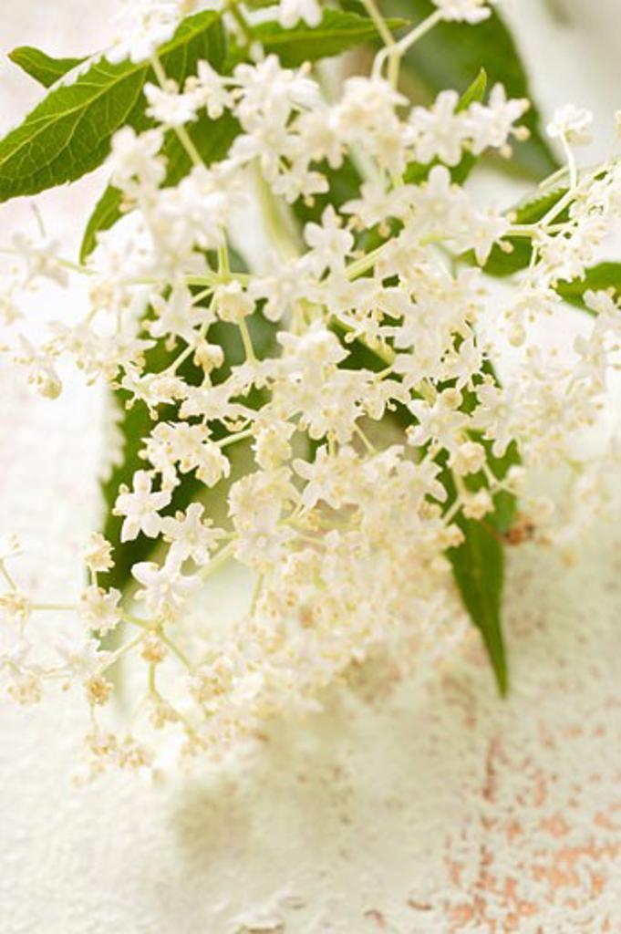 Elderflowers : Stock Photo