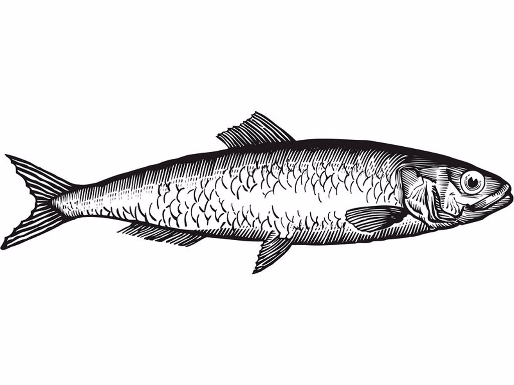 Stock Photo: 1538R-48095 A black and white drawing of a herring