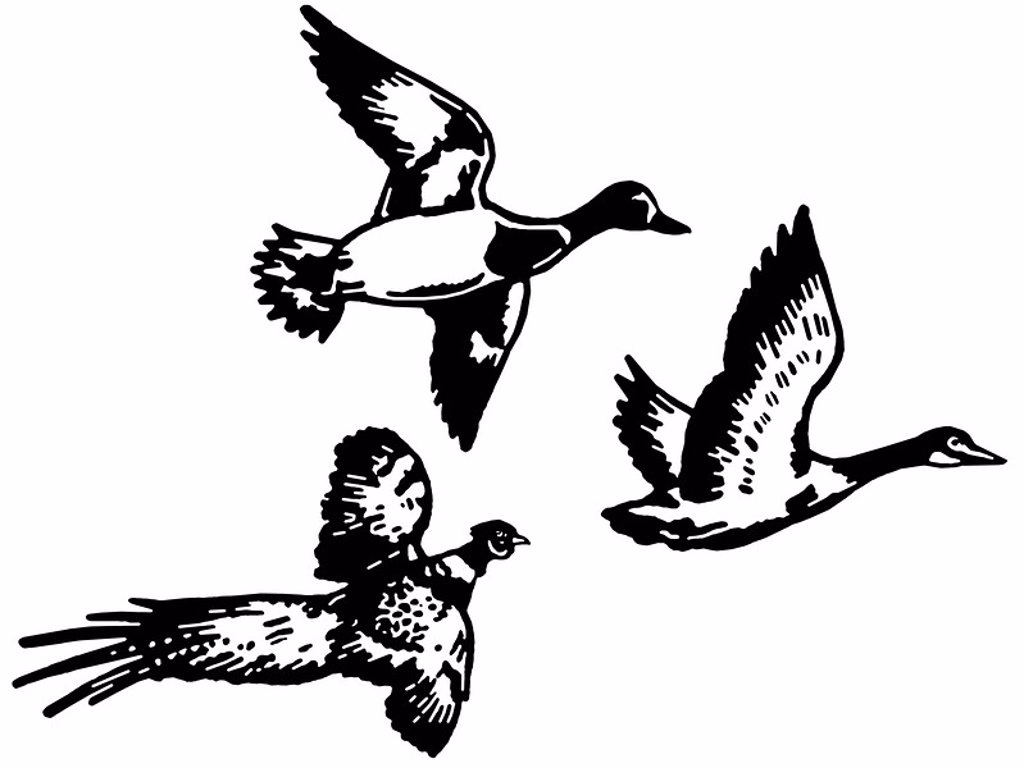 A black and white version of three different breeds of duck flying : Stock Photo
