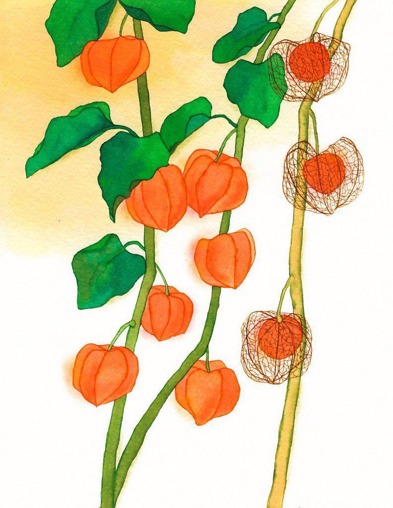A painting of a Chinese lantern bush : Stock Photo