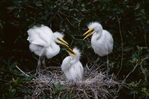 Close-up of three juvenile Great Egrets in a nest (Ardea alba) : Stock Photo