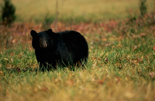 Close-up of a Black Bear standing in a field : Stock Photo