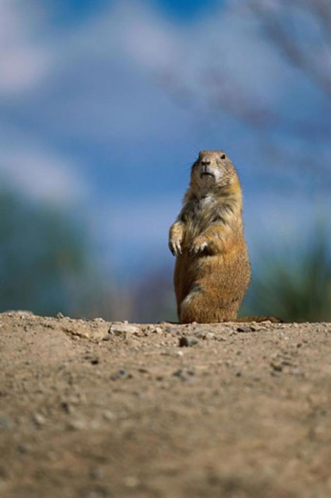 Black-tailed Prairie Dog standing upright (Cynomys ludovicianus ) : Stock Photo