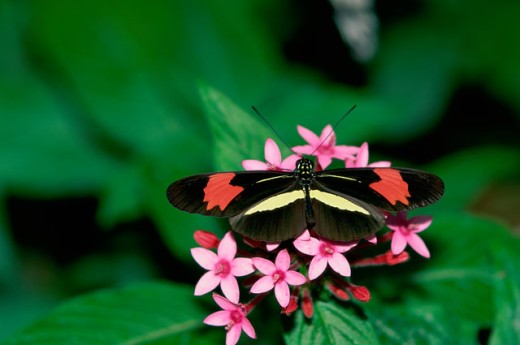 Close-up of a Rosina Butterfly pollinating on flowers : Stock Photo