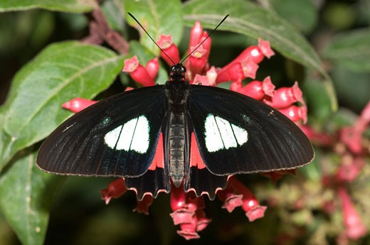 Close-up of a Heliconius butterfly pollinating a flower : Stock Photo