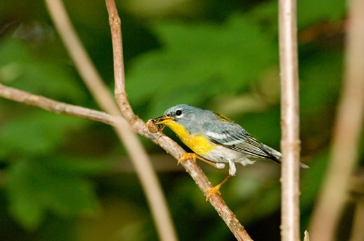 Close-up of a Northern Parula (Parula americana) with a spider in its beak perching on a tree branch : Stock Photo