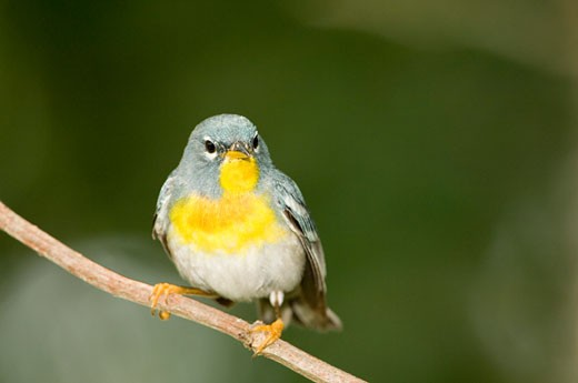 Close-up of a Northern Parula (Parula americana) perching on a tree branch : Stock Photo