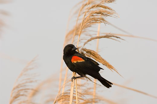 Stock Photo: 1541-223 Close-up of a Red-Winged Blackbird (Agelaius phoeniceus) perching on a wheat plant