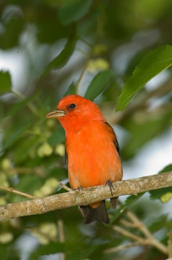 Stock Photo: 1541-224 Close-up of a Scarlet Tanager (Piranga olivacea) perching on a tree branch