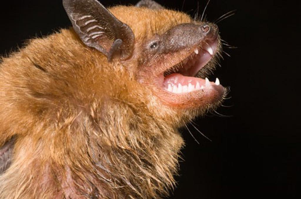 Close-up of a Big Brown Bat (Eptesicus fuscus) : Stock Photo