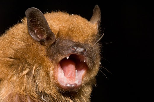 Close-up of a Big Brown Bat (Eptesicus fuscus) : Stock Photo