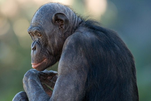 Close-up of a Bonobo (Pan paniscus) : Stock Photo