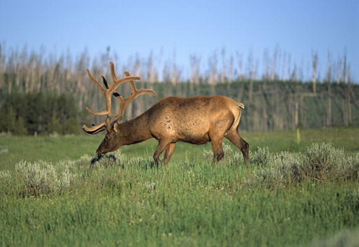 Side profile of a Bull elk (Cervus elaphus) grazing in a forest : Stock Photo