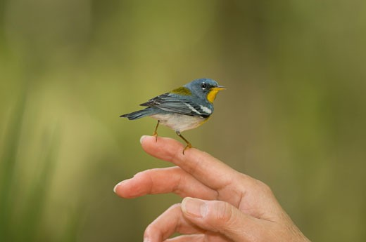 Side profile of a Northern parula (Parula americana) perching on a person's finger : Stock Photo