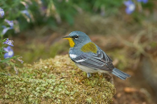 High angle view of a Northern parula (Parula americana) : Stock Photo