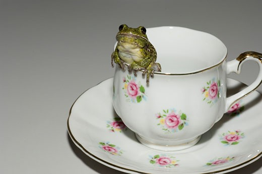 Stock Photo: 1541R-234E Close-up of a Barking Tree frog (Hyla gratiosa) peeking from a tea cup