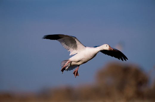 Stock Photo: 1542-128 Low angle view of a Snow Goose flying in the sky (Chen caerulescens)