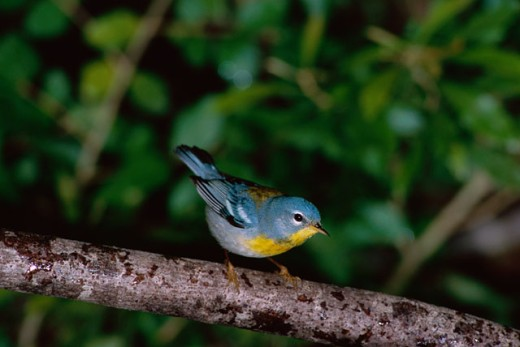 Stock Photo: 1542-131 Northern Parula