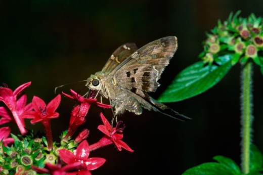 Stock Photo: 1542-167 Close-up of a Long-tailed Skipper Butterfly pollinating a flower (Urbanus proteus)