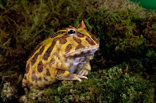 Stock Photo: 1542-183 Close-up of a Brazilian Horned Frog in the grass (Ceratophys auritoa)