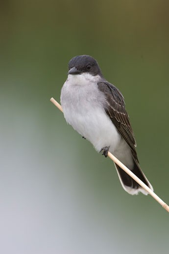 Close-up of an Eastern kingbird (Tyrannus tyrannus) perching on a straw : Stock Photo