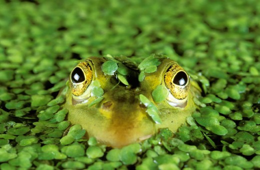 Stock Photo: 1547-109 Close-up of a Common European Frog emerging from water (Rana temporaria)