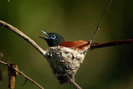 Close-up of a male African Paradise Flycatcher perching on a nest (Terpsiphone viridis) : Stock Photo