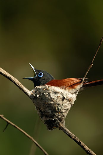 Close-up of an African Paradise Flycatcher perching in a nest (Terpsiphone viridis) : Stock Photo