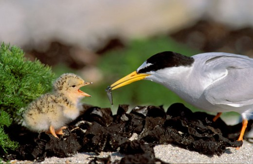 Stock Photo: 1547-169 Close-up of a Little Tern feeding a young animal (Sterna albifrons)