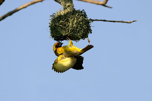 Stock Photo: 1547-184 Low angle view of a Spotted-backed Weaver weaving a nest (Ploceus cucullatus)