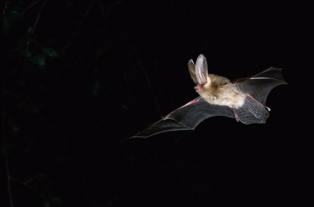 Stock Photo: 1554-139 Low angle view of a Townsend's Big-eared Bat flying at night (Corynorhinus townsendii)