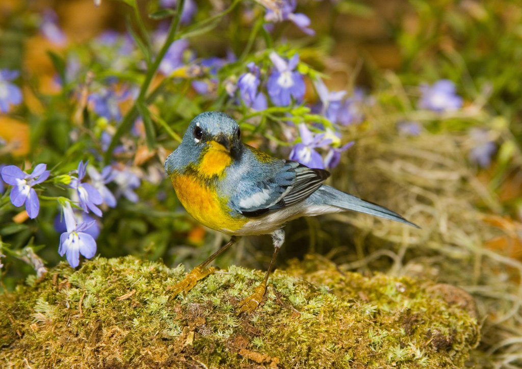 Northern parula (Parula americana) perching on a rock : Stock Photo