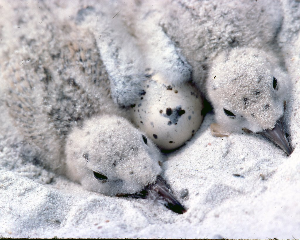 Close-up of two Black skimmer hatchlings (Rynchops niger) with an egg in a nest : Stock Photo