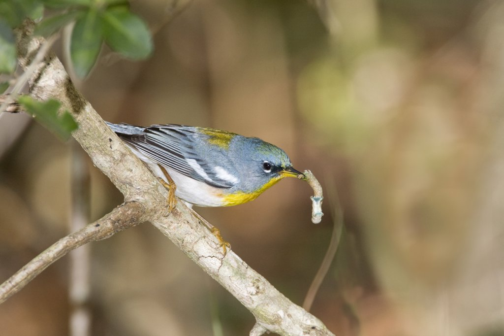 Northern parula (Parula americana) perching on a branch, Jacksonville, Florida, USA : Stock Photo