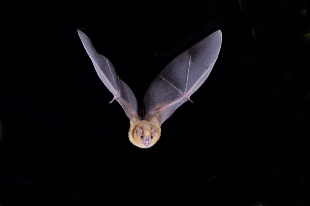 Stock Photo: 1554-246 Davy's Naked-Backed bat (Pteronotus davyi) in flight